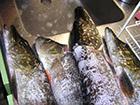 Ryby szczupak złowione w Szwecji